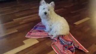 Fizzy, Westie Puppy, My Baby, West Highland White Terrier