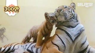 멸종위기 한국 호랑이 남매 처음 세상에 나오던 날 (최초공개)ㅣFirst-Time Released Birth Scene Of Endangered Species Grade 1