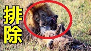 【閲覧注意】①ライオンの捕食&狩り!ハイエナを駆除!②グロ注意!ヒヒ...