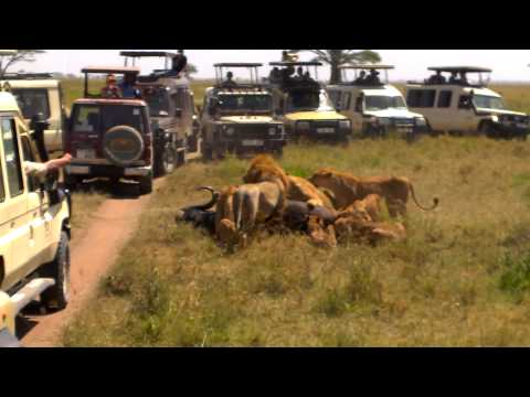 Lions capturing an African buffalo - Serengeti National Park - Tanzania - 24/01/2015