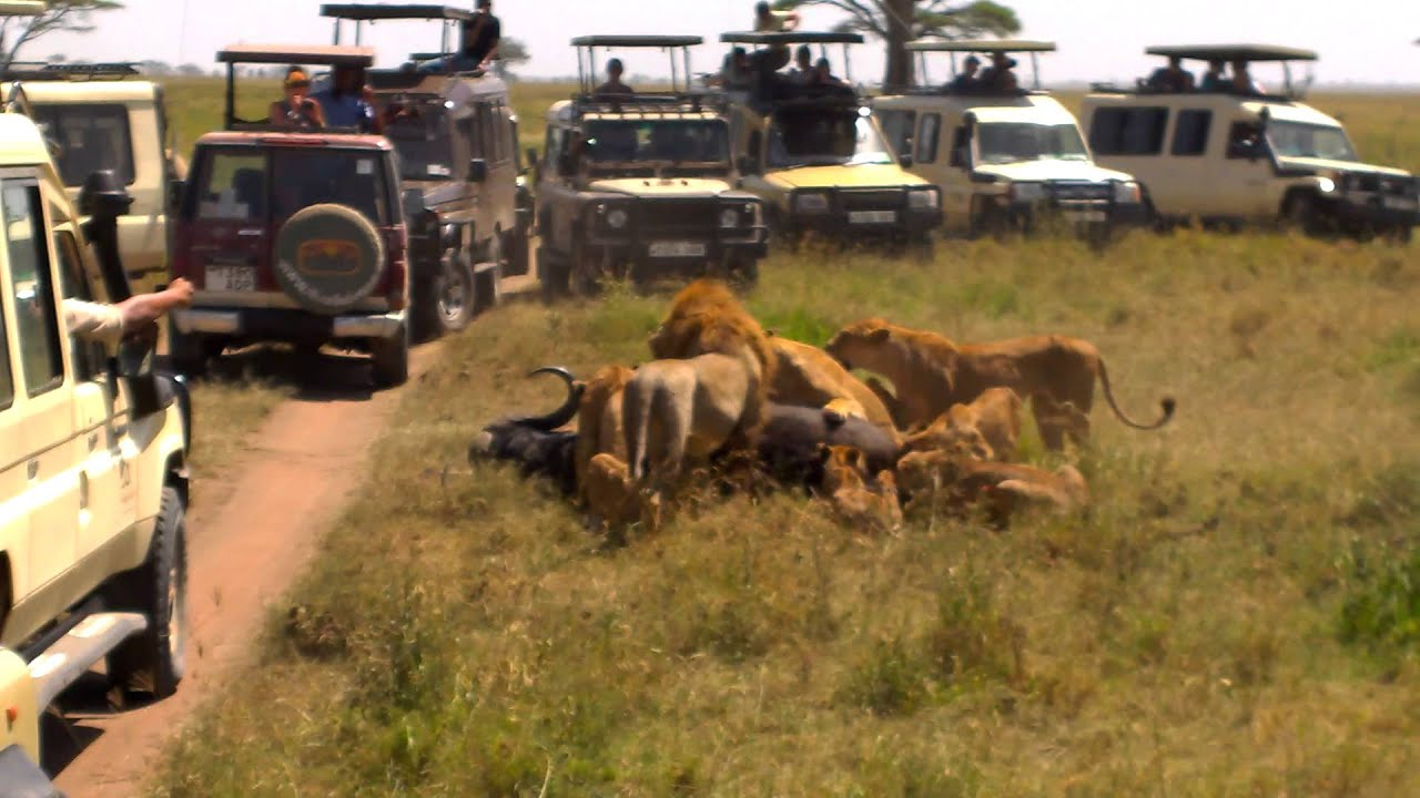 Lions Capturing An African Buffalo Serengeti National Park - 9 things to see and do in serengeti national park