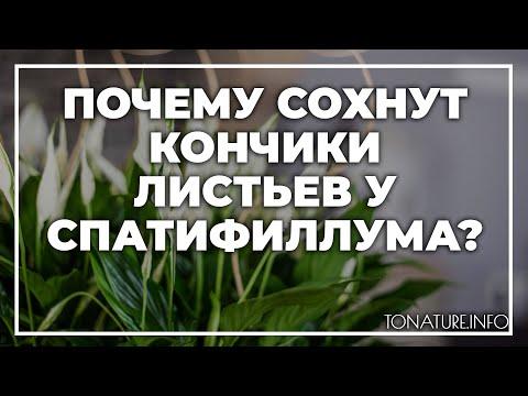 Почему сохнут кончики листьев у спатифиллума? | toNature.Info