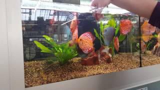 Dehner in Oberkotzau: Fütterung unserer STENDKER-Diskusfische