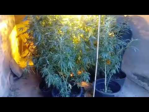 """La Guardia Civil un cultivo """"indoor"""" de marihuana en un galpón anexo a una vivienda en Arbo"""