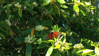 Monarch Butterflies Nectaring, Goleta, California Feb. 12, 2014