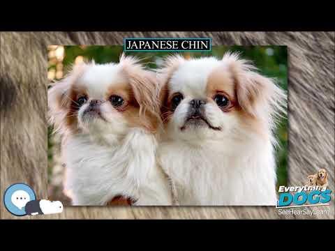 Japanese Chin  Everything Dog Breeds