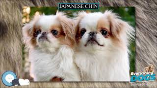 Japanese Chin  Everything Dog Breeds
