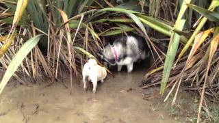 Siberian Husky And Pug Playing In The Mud