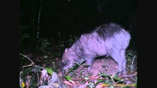 Peccary Time Lapse: why are white-lipped peccaries ecosystem engineers.