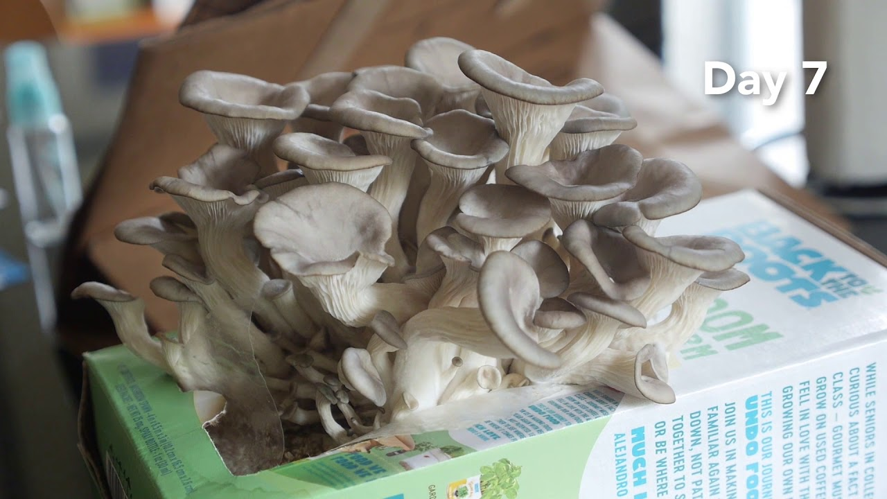 Growing Mushrooms in a Box - Back to the Roots Organic Mushroom Farm Review