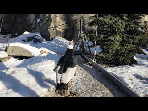 Andean condor on the snow