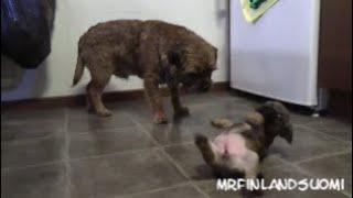 Border Terrier Puppies 2020