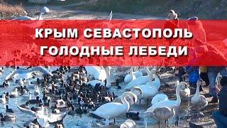 Крым, Севастополь, пляж Омега голодающие Лебеди на пляже зимой(Зимовка Лебедей в Севастополе. Голодающие птицы прилетели в Севастополь в бухту Омега. Это незамерзающяя..., 2016-12-15T12:06:21.000Z)