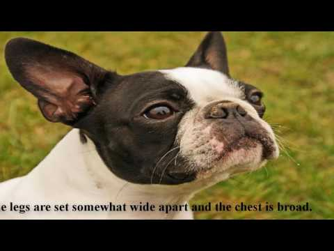 The Boston Terrier is a popular dog-Most Popular Dog Breeds