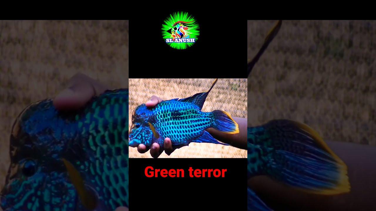Green terror | srilanka fish farm