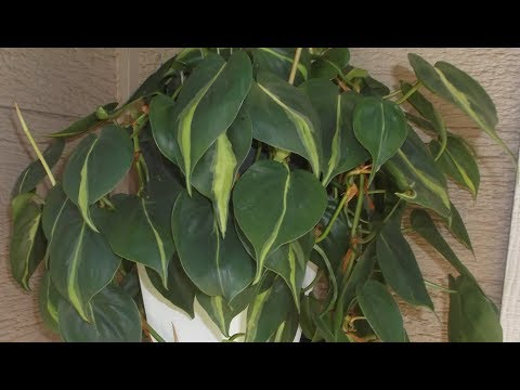 Philodendron Plant Rescue 2:  How to re-pot and propagate Philodendron Cuttings