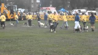 Pads Dog Training - Mod Stafford Obeinece Display Team