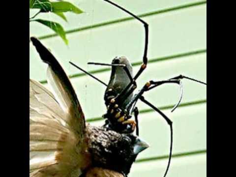 Giant spider eating bird - photo#25