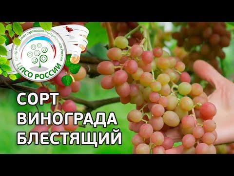 Сорт винограда Блестящий. 🍇 Описание сорта винограда Блестящий. | выращивание | открытый | описание | виноград | посадка | виногра | агроном | россии | огород | каждый
