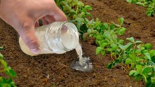 Помогите клубнике в сентябре в след году завалит урожаем обязательный уход за клубникой осенью!