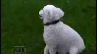 Doggy Narcolepsy