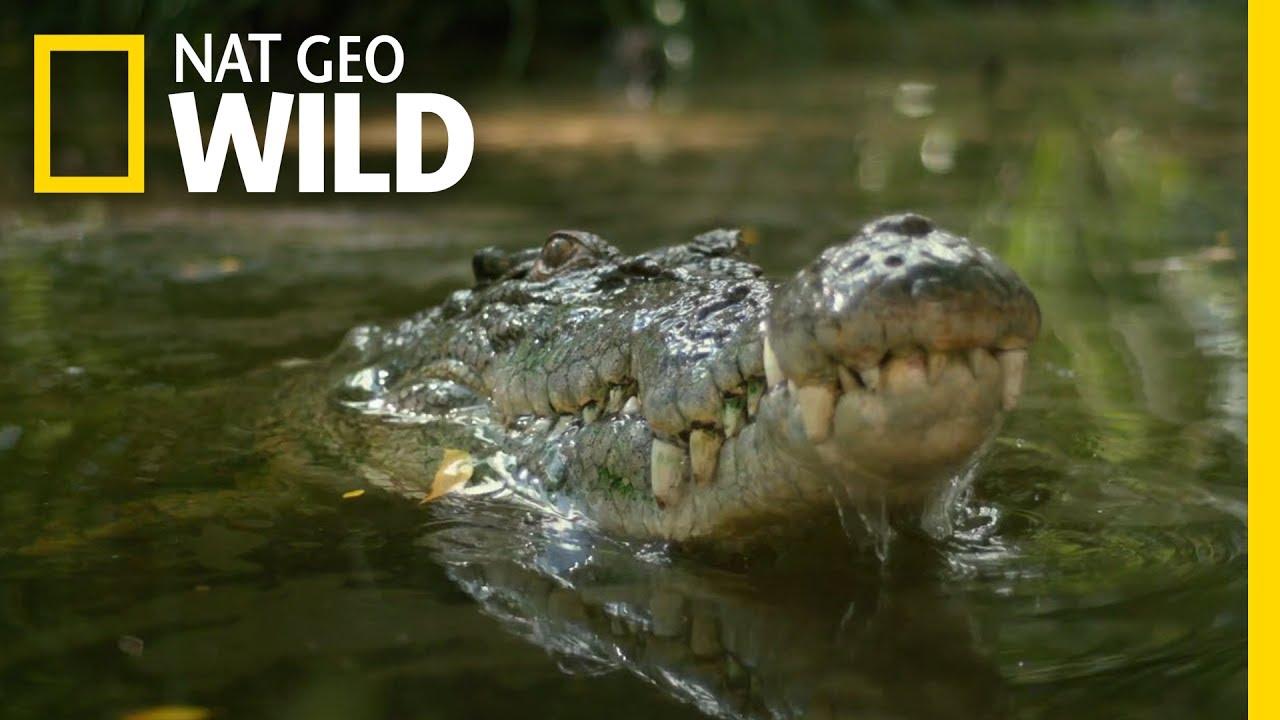 Download Watch a Croc's Brutal Death Roll | Boss Croc