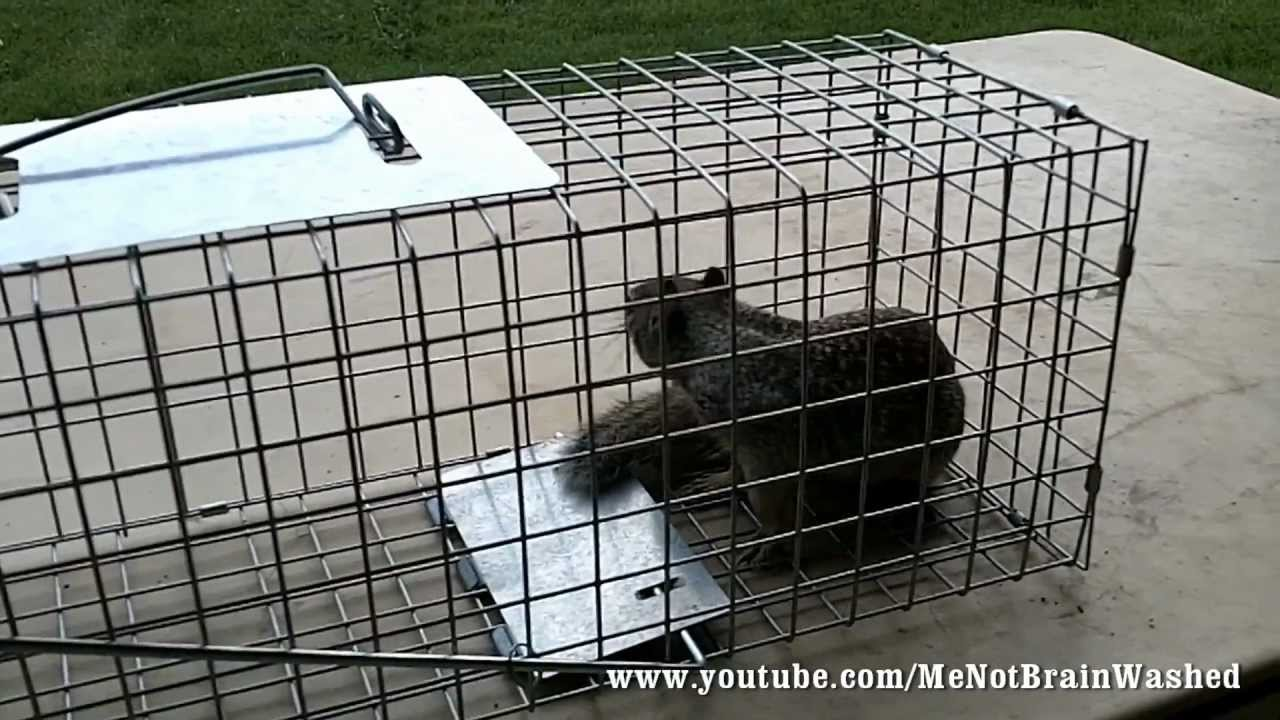 Live Animal Trap for Squirrels - YouTube