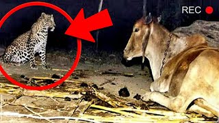 Toți au Încremenit cand au văzut de ce leopardul vizita vaca în fiecare seară
