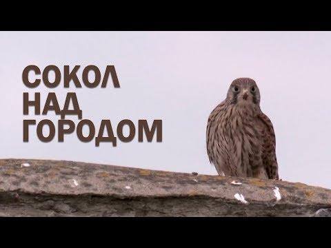 СОКОЛ НАД ГОРОДОМ   Документальный фильм   Уникальные съемки
