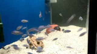 Demo Sony balıkları ve yavruları