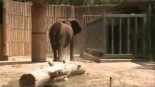 Noisy Angry Elephant at Memphis Zoo June 26, 2010