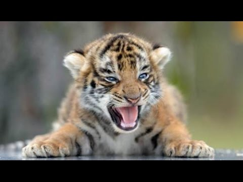 Cute Tiger Baby - Funny Big Cat Videos Compilation 2016 ...