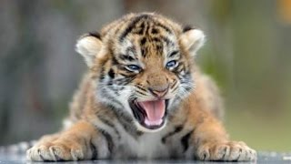 Cute Tiger Baby -  Funny Big Cat Videos Compilation 2016 || NEW HD