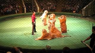Шоу братьев Запашных. Тигры в цирке. Цирк братьев запашных