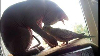 РЖАКА - попугай и лысый кот Сфинкс - ЭТО ЛЮБОВЬ