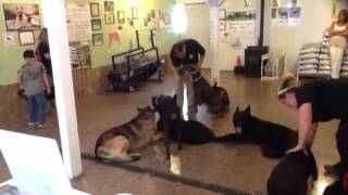 Behavior Modification For A Severe Dog Aggressive Doberman