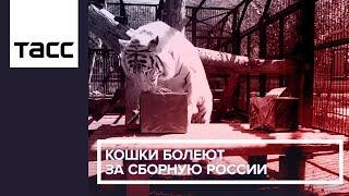 Кошки болеют за сборную России