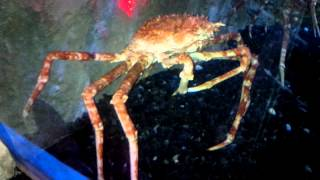 biggest crab in the world