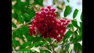 Czerwona jarzebina