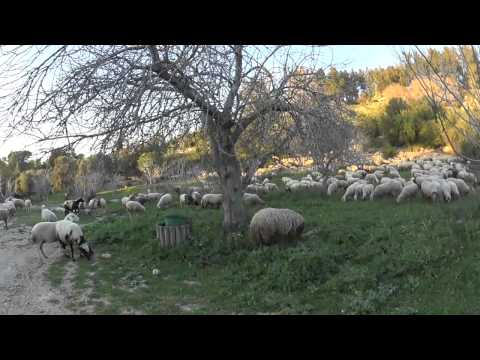 Emmaus path (the road to Emmaus) Israel - a flock of sheep and the Good Shepherd. OPUS DEI tour