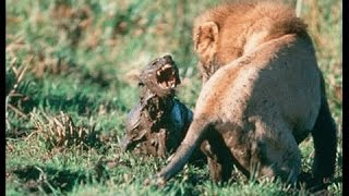 ► Lions Documentary - Special Lion vs Hyenas - The Lion Eats Hyenas - National Geographic | HD