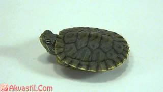 Красноухая черепаха болотная. Аквариумные рептилии. Жители аквариума.