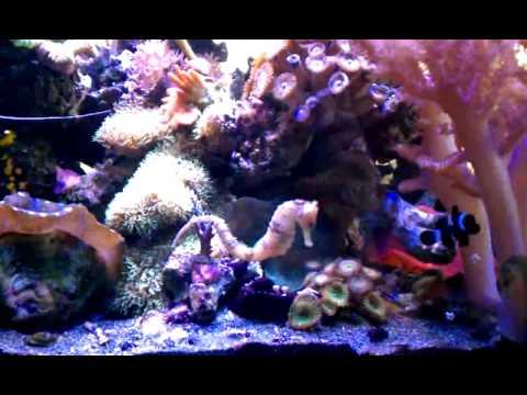 20 gallon reef seahorse tank youtube for Seahorse fish tank