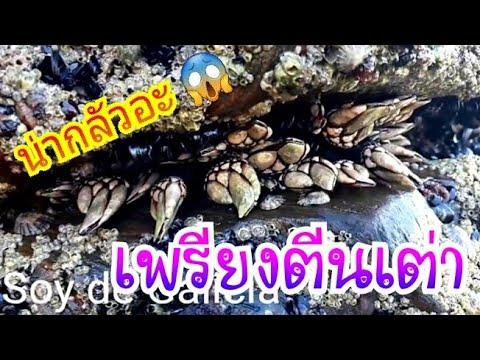 เก็บเพรียงทะเลหรือเพรียงตีนเต่า ลงทะเลไปเก็บเอามาทำกินจร้า...17 พฤษภาคม ค.ศ. 2018