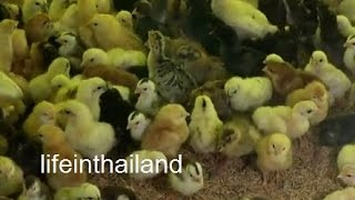 Thailand chicken hatchery, Roi Et Thailand, And a box of babies for me
