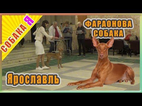 Фараонова собака Собака я Выставка Ярославль   Pharaoh hound