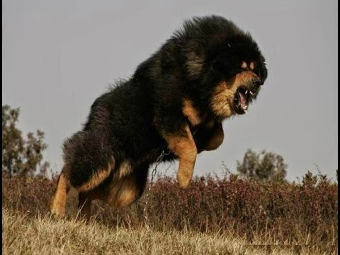 Tibetans Dog Big