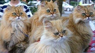 10 персидских кошек помогают пенсионеру популяризовать котов в Японии (новости)