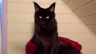 Кошка Мейн Кун Tiffani SolarSong, окрас чёрный солид, свободна!