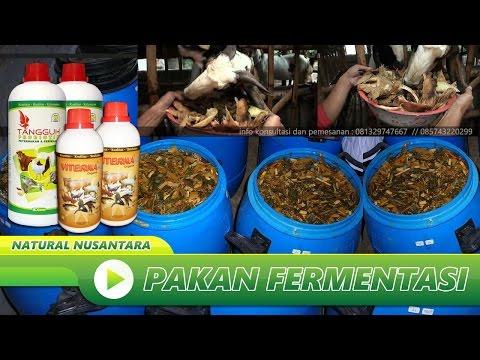 Cara Membuat Pakan Fermentasi Untuk Ternak